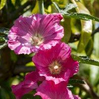 Розовые цветы :: Александр Деревяшкин