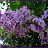 Лиловые гроздья :: Андрей Заломленков
