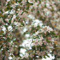 Опять яблоневый цвет. :: Иван Янковский
