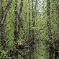 Весенний лес :: shvlad