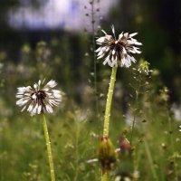dandelions :: Lena Loft