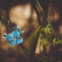 Синенький цветочек. :: Наталья Лысенко