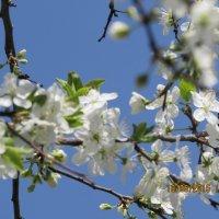 Цветение сливы :: Валюша Черкасова