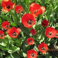 Тюльпаны алые :: Валюша Черкасова