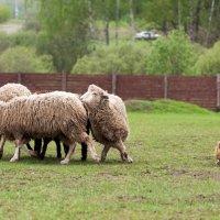 Маленький пастух :: Анастасия Ласская