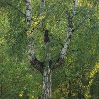 """дерево - """"человек"""" :: ИГОРЬ МОСКАЛЕВ"""