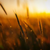 Пшеница :: Дмитрий Адаменко
