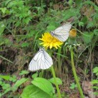 Бабочки :: Екатерина Р