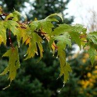 Клен плачет...осень.... :: Александр Герасенков