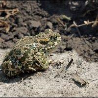 жаба :: DR photopehota