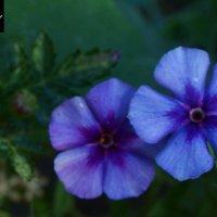 цветы :: Dana More