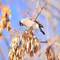 Птица Клест :: Анастасия Воскресенская