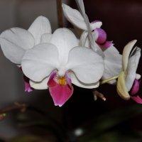 орхидея :: Людмила Красникова