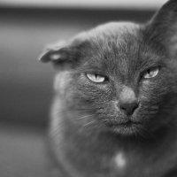 потрет кота :: Ольга Коблова