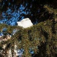 снежок на веточке :: Анастасия Соколова
