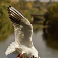 голодная чайка :: Vitaliy Mytnik