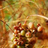 Виноград :: Виктория Слуц