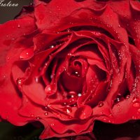 прекрасная роза :: Марина Фролова