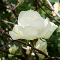 Шиповник - дикая роза..) :: Катрин Моргачева