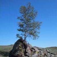 священное дерево шаманов :: Сергей Казанцев
