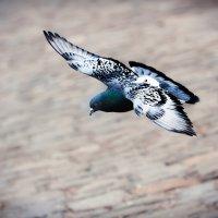 Лети моя голубка :: Дмитрий Кулиш