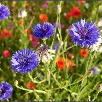 Скромные цветы :: Василий Хорошев