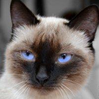 "Моя кошка ""Маська"" :: DIMA GROMOV"