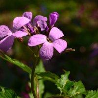 Пурпурная весна :: Олег Зиньковский