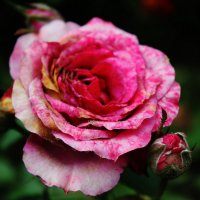 Утренняя роза :: Наташа dd