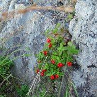 Волчья ягода в наскальном камне :: Нина северянка