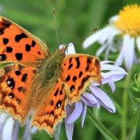 Бабочка :: Алёна Компаниец