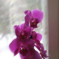 орхидея :: Натали Михеева