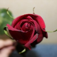 роза :: Натали Михеева