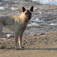 Бродячая собака :: Виталий Вильценс