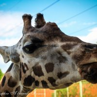Деловой жираф :: Allekos Rostov-on-Don
