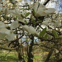 Цветы магнолии. Ботанический сад :: Gennadiy Karasev