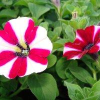 Petunia x aktinsiana Pegasus Special Burgundy Bicolor :: laana laadas