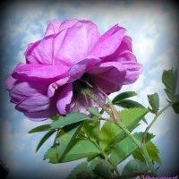 Просто роза.. :: Андрей Заломленков