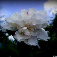 Белый пион :: Андрей Заломленков