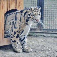 Дымчатый леопард :: Аркадий