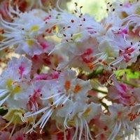 Цветы у каштана белые с розовыми, оранжевыми и жёлтыми  крапинками. :: Валентина ツ ღ✿ღ