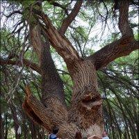 Дерево поражает своими размерами. :: Anna Gornostayeva