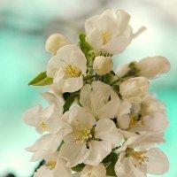 Вот и у нас яблоньки в цвету :: Svetlana Plasentsiia