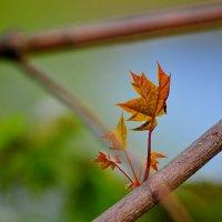 Клён -«acer» - острый (листья с острыми лопастями). :: Андрей Куприянов