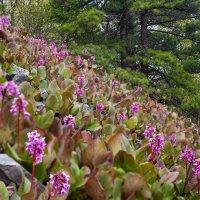 Цветущий бадан на склонах Сихотэ-Алиня :: Victor Belimenko