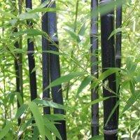 Черный бамбук :: Валентина Ломова