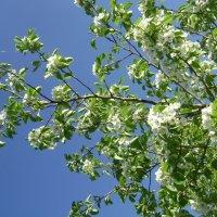 Яблоня цветёт :: Анатолий