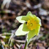 Весенний цветок :: Анатолий Иргл