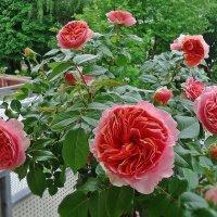 Расцвела на моем балконе роза. «Английские розы»-Розы Девида Остина :: Galina Dzubina
