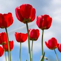 тюльпаны :: Андрей С